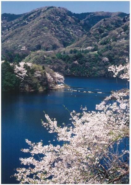 第14回津久井湖さくらまつり(花の苑池)