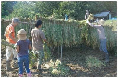 師匠と一緒に稲刈り体験