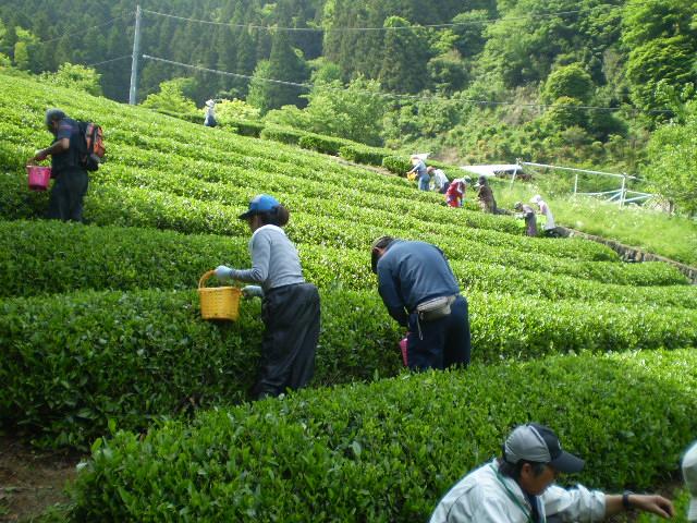 「やまなみ五感体験ツアー『茶摘み&手作り茶加工体験教室』」