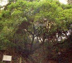高杉のウラジロガシ(かながわの名木100選)
