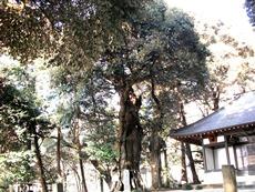 スダジイ 津久井の名木