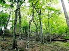 丹沢堂平のブナ林
