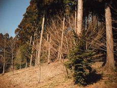 津久井城跡のヒノキの森