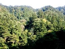 丹沢札掛モミの原生林