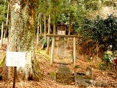 田代八幡神社のタブノキ