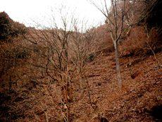 大洞のケヤキ林