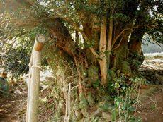 煤ヶ谷のしばの大木