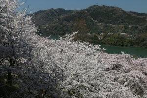 桜、さくら、SAKURA !!(津久井湖 ⇒ 宮ヶ瀬湖)の写真