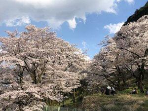 やまなみ五湖からの春たより2019(桜の開花情報)の写真