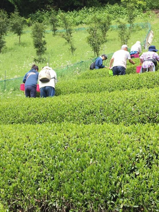 6月22日(土)茶摘み&手もみ茶つくり体験 開催!