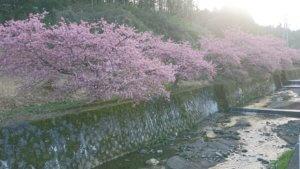 やまなみ五湖からの春たより2020(桜の開花情報)の写真